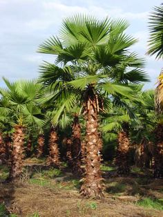 Mexican Fan Palm Trees (Washingtonia robusta) The Mexican Fan Palm Tree (Washingtonia Robusta) also called the Washington Palm or Skyscraper, is a very popular fast growing indoor/outdoor pa… Tropical Landscaping, Landscaping Plants, Tropical Garden, Pool Plants, Landscaping Design, Palm Tree Pictures, Cake Pictures, California Palm Trees, Gardens