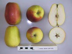 Kandil Sinap, Tafel- und Wirtschaftsapfel, Ernte: IX, genussreif ab: XI, lagerfaehig bis III, robuts,guter Geschmack, jaehrlich + fruchtbar