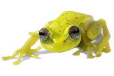 Sob luz normal, a rã sul-americana Hypsiboas punctatus ostenta tons belos, mas opacos, de verde, amarelo e vermelho. No escuro, sob iluminação ultravioleta, no entanto, este anfíbio emite um brilho azul esverdeado