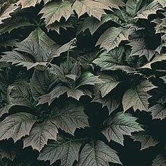 Pase Seeds - Rodgersia Sambucifolia Perennial Seeds, $3.49 (http://www.paseseeds.com/rodgersia-sambucifolia-perennial-seeds/)