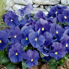 Pansy Inspire True Blue - Annual Flower Seeds
