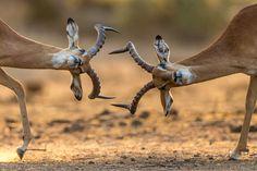 Just Impalas by Kanwar Deep Juneja on 500px