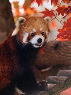 red panda                                                                                                                                                                                 Más
