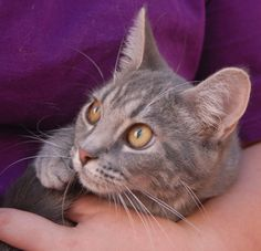 Helena, a bashful junior kitten, likes gentle ear rubs and soft conversations with you.  She is a pretty silver tabby, 7 months of age, now spayed and ready for adoption at Nevada SPCA (www.nevadaspca.org).  Helena looks up to other cats and would love to join a home where she would have a big sister or brother cat for guidance and companionship.