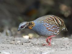 Rufous-throated Partridge _ 百花嶺-08 ☺☺ | 22 | Johnson | Flickr