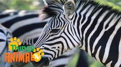 ZEBRA: Animal videos for children| kids| toddlers. Preschool and Kinderg...