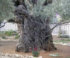 Remarkably, the Garden of Gethsemane still contains dozens of ancient olive trees that date to approximately 2,000-years-old!