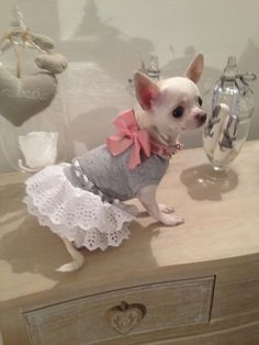 Effective Potty Training Chihuahua Consistency Is Key Ideas. Brilliant Potty Training Chihuahua Consistency Is Key Ideas. Teacup Chihuahua, Chihuahua Love, Chihuahua Puppies, Cute Puppies, Cute Dogs, Dogs And Puppies, Chihuahua Clothes, Doggies, Baby Dogs