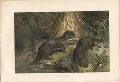 1884 European Otter or River Otter, Lutra Lutra Original Antique Chromolithograph to Frame Animal Art Prints, Appaloosa, Zoology, Antique Prints, Otters, Natural History, Decoration, Mammals, Giclee Print