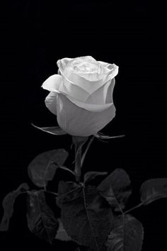 Flowers Photography Black And White Roses 25 Trendy Ideas Black And White Roses, Black And White Aesthetic, Black And White Pictures, Black Flowers, Snow White, Flower Phone Wallpaper, Rose Wallpaper, Fotografia Macro, Beautiful Rose Flowers