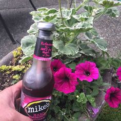#Summer#gardening here in the #PNW with a #chillsner and #Mikes makes all the…