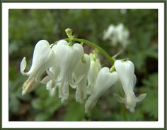 """""""Squirrel Corn"""" (not to be confused with Dutchman's Breeches)"""