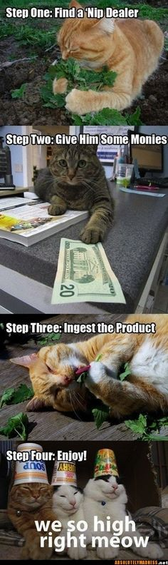 This is sooo funny!  My four cats love nip!  And if you grow your own outside, it's really strong, and they actually act drunk!