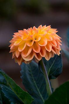 Orange petaled dahlia.