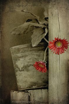 Love the gerbera daisy...such a vibrant flower  http://www.flickr.com/photos/54771108@N07/7187685898/  http://www.flickr.com/photos/54771108@N07/