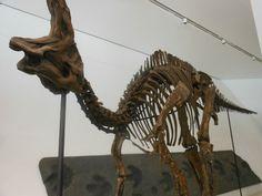Corythosaurus - the ROM - Kendra Spence