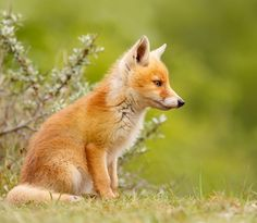 Cute Fox Kit by Roeselien Raimond