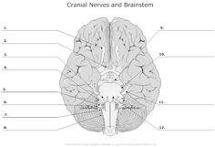 Nerves and brainstem unlabeled more brainstem unlabeled cranial nerves