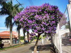 Manacá da Serra Anão – Tibouchina mutabilis – Belíssima arvoreta, em que é possível admirar flores em três cores diferentes simultaneamente, branca, rosa e roxa, de acordo com a idade da flor.