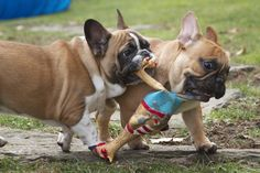 Frenchies brothers sharing their rubber chicken.