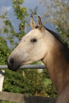 Buckskin Akhal Teke horse named 'Guneshli'