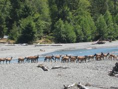 Olympic National Park in Washington state. Photo #29 by Gene Bisbee - Elk herd crossing river by ebis50, via Flickr - http://www.flickr.com/photos/77751108@N00/3786217040/sizes/o/#