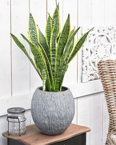 Sansevieria Trifasciata Laurentii Indoor Plants 01 - All For Herbs And Plants Best Indoor Plants, Outdoor Plants, Garden Plants, Sansevieria Plant, Sansevieria Trifasciata, Unique Plants, Cool Plants, Decoration Plante, Small Gardens