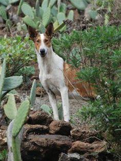 Podenco Canario photo | Podenco Canario - Tierschutz La Palma