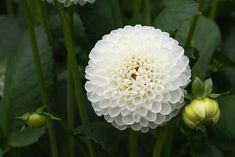 If your garden looks tired at the end of the season, but your neighbors' is full of color and texture, chances are they may be growing dahlias. Dahlias bloom from mid summer until frost, and... Read More