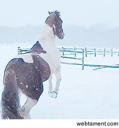 She's acting like a filly. Cute paint horse playing in the snow. So funny, she hops like a bunny rabbit!