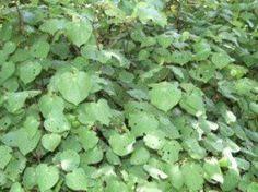Macropiper excelsum - Kawakawa - New Zealand Pepper tree - The Native Plant Centre