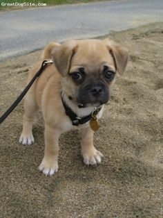 """Chug"" chihuahua/pug mix ... they grow up to be just as cute. Like having a permanent puppy. That face!!!"