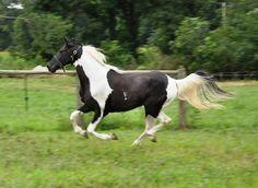 spotted saddle horses