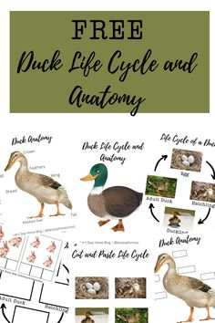 Spring is the perfect time for a duck unit study! Download these FREE duck resources today. Free duck life cycle and anatomy. Free duck printables! Check out our duck book list. #duckunit #duckunitstudy #duckworksheets #duckprintables #preschool #homeschool