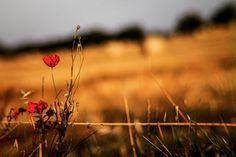 7 zile în Toscana – mai mult decât simplă o călătorie – The True Treasures Fields Of Gold, Toscana, Mai, Poppies, Travel Photography, Italy, Flowers, Plants, Summer
