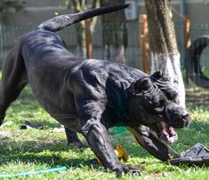Visit our web site for even more info on Boxer Dogs. It is an excellent place to get more information. Cane Corso Italiano, Cane Corso Dog, Alabai Dog, Boxer Dogs, Mastiff Breeds, Mastiff Dogs, Big Dogs, Dogs And Puppies, Scary Dogs