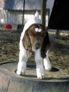 floppy goat ears!