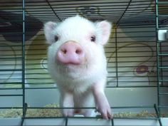 What a cute little sweet looking baby pig. I don't like the cage at all he needs room to run around