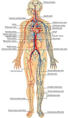 important veins in the body