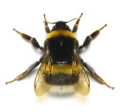 Bumble bees are a common problem in Streator, La Salle & Dwight, Illinois. Find out how to control & prevent bumble bees around your home or business. Bumble Bee Tattoo, Bee Illustration, Cool Bugs, I Love Bees, Insect Photography, Bees And Wasps, Cute Bee, Beautiful Bugs, Bee Art