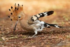 Startled !!!   - Hoopoe by Jamie-MacArthur.deviantart.com