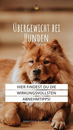 Wir leben in Zeiten des Überflusses und da kommt es schon mal vor, dass man das eine oder andere Kilo zu viel auf den Rippen hat – auch unsere Vierbeiner bleiben davon nicht verschont. Übergewicht bei Hunden ist ein Thema, das viele HundebesitzerInnen beschäftigt. Viele suchen genau aus diesem Grund die Hilfe von HundeernährungsberaterInnen – und das ist auch richtig so, denn auch wenn ein dickerer Hund süß aussehen mag, kann Übergewicht ernste Folgen für ihn haben. #dogtisch academy #Hunde Movie Posters, Blog, Vet Office, Dog Food, Natural Medicine, Health And Fitness, Film Poster, Blogging, Billboard