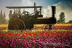 Tulip Festival Woodburn Oregon | Full Steam Ahead! Wooden Shoe Tulip Festival - Woodburn, Oregon