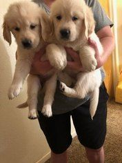 Golden Retriever Puppy For Sale Near 93720 Fresno Ca Usa Puppies For Sale Retriever Puppy Golden Retriever
