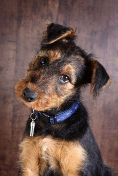 Must love Airedales, this puppy looks so sweet and innocent  haha