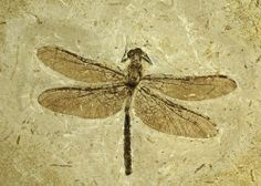 Dragonfly fossil-I've bought some cool fossils from the Brass Armadillo  Antique Mall.