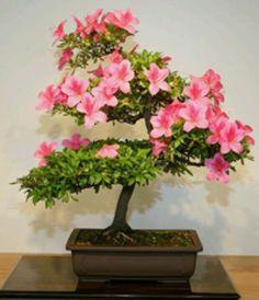 Satsuki azalea by Chinese Bonsai Garden Flowering Bonsai Tree, Japanese Bonsai Tree, Bonsai Plants, Bonsai Garden, Bonsai Trees, Bonsai Azalea, Ficus Microcarpa, Miniature Trees, Gardens