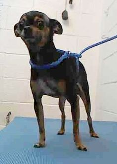 Adopted BUTTON (A1676315) I am a female black and tan Chihuahua - Long Haired. The shelter staff think I am about 4 years old. I was found as a stray and I may be available for adoption on 02/04/2015. — hier: Miami Dade County Animal Services. https://www.facebook.com/urgentdogsofmiami/photos/pb.191859757515102.-2207520000.1422796484./919499601417777/?type=3&theater