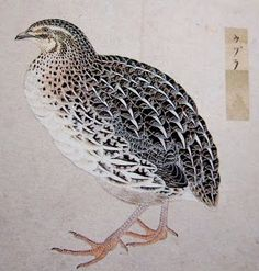 Common Quail (artist not specified)