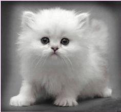 white fluffy kitten - Google Search